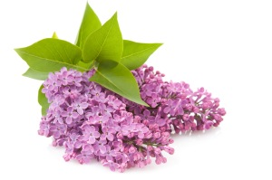 Blooming flower of purple lilac, isloated